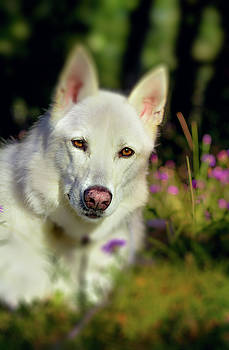 White Shepherd Dog Posing In the Sunlight by Tyra OBryant