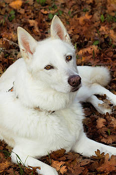 White Shepherd Mix In Autumn Leaves by Tyra OBryant