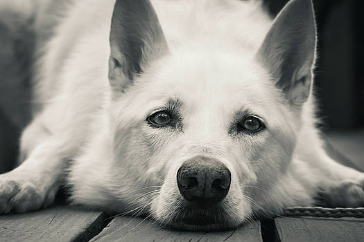 White Shepherd Relaxing On The Deck by Tyra OBryant