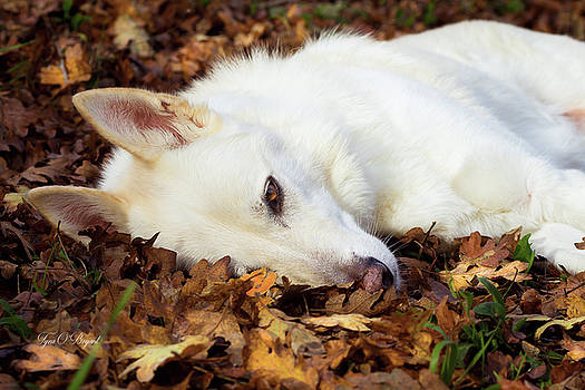 White Shepherd Rests In Autumn Leaves by Tyra OBryant