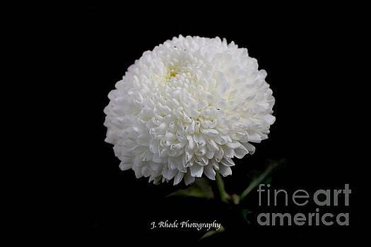 White Snowball by Jeannie Rhode