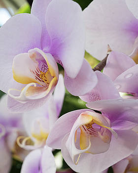 White Soft Orchids Blooming by Zina Zinchik