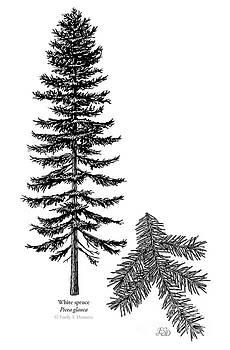 White spruce by Emily Damstra