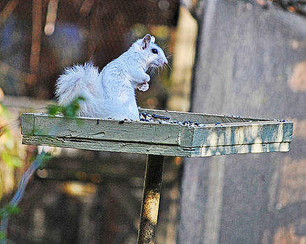 White Squirrel #2 by Wayne Ritt