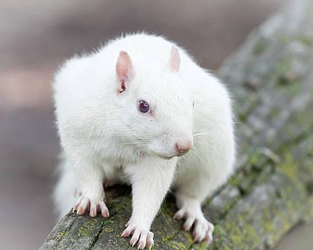 White Squirrel by Deb Henman