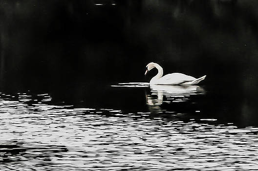 White swan by Beverly Cazzell