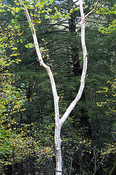 White sycamore tree trunk against a dark autumn landscape by Natalie Schorr