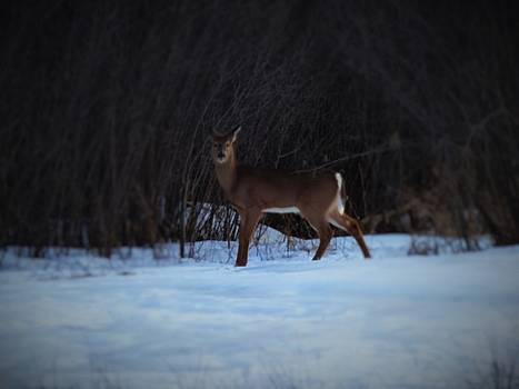 White Tail At Dusk by Scott Welton