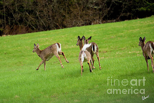 Four White Tail Deer  by Alana Ranney