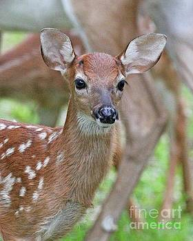 White tail deer fawn by Dodie Ulery