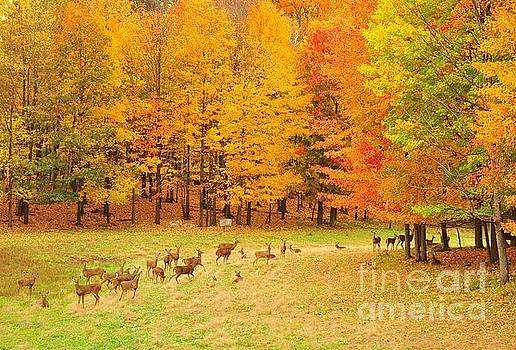 Terri Gostola - White Tail Deer Herd