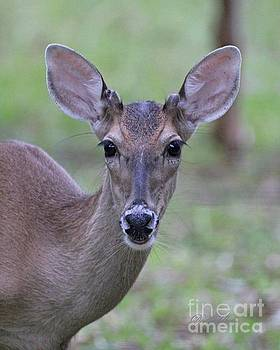 White Tail Young Buck Closeup by Dodie Ulery