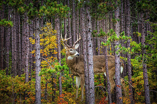 Randall Nyhof - White Tailed Buck among the Pines