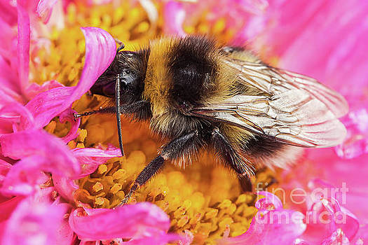 Simon Bratt Photography LRPS - White tailed bumblebee macro sat on a pink Aster