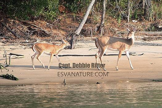 White Tailed Deer 7834-1 by Captain Debbie Ritter