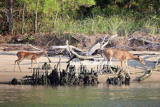 White Tailed Deer 7841 by Captain Debbie Ritter
