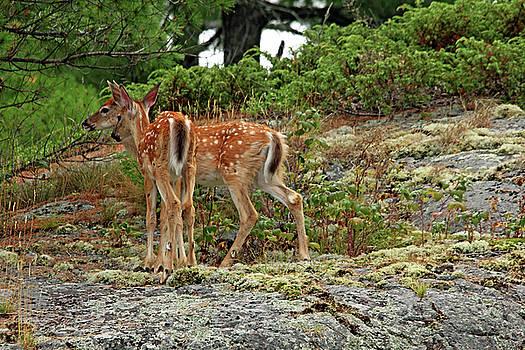 Debbie Oppermann - White Tailed Deer Twins