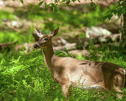White-Tailed Doe in the Forest by Lara Ellis