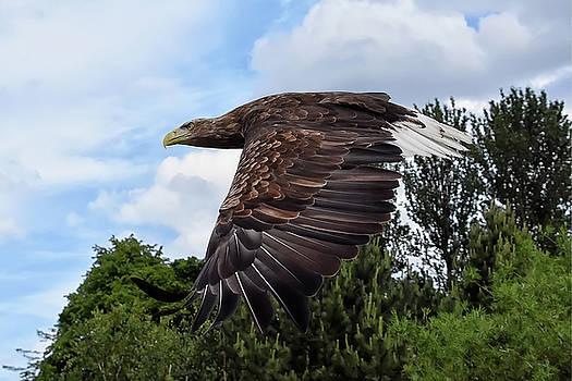 White Tailed Eagle by Kuni Photography