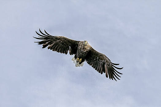 White Tailed Eagle soaring above Mull Scotland by Mr Bennett Kent