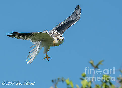 White Tailed Kite by Dee Elliott