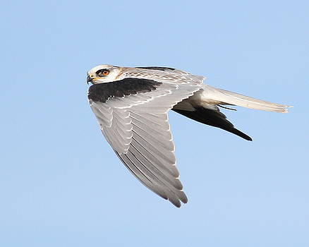 Wingsdomain Art and Photography - White-Tailed Kite Hawk In Flight . 7D11110