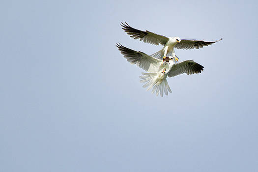 Susan Gary - White-Tailed Kites Food Exchange
