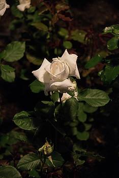 Michael Bessler - White tea rose bud at night