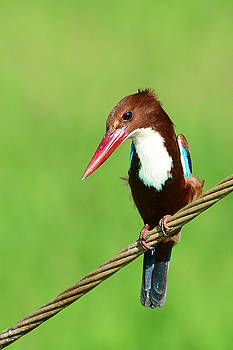 White-throated Kingfisher by Balram Panikkaserry