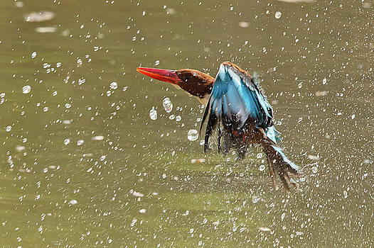 White-throated Kingfisher by Jean-Luc Baron