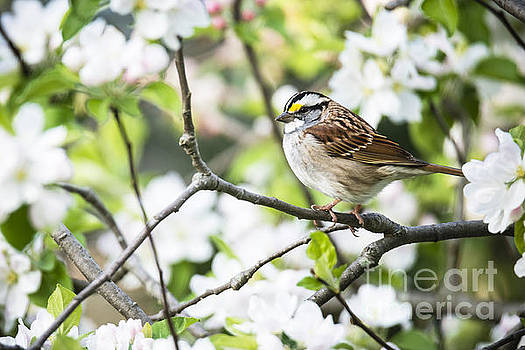 Oscar Gutierrez - White throated sparrow and spring blossoms