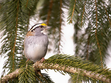 White Throated Sparrow by Daphne Sampson