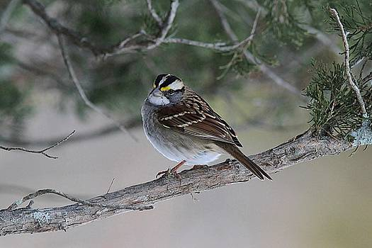 White-throated Sparrow in the cedar tree by Linda Crockett