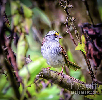 White-throated Sparrow - In The Spring by Kerri Farley