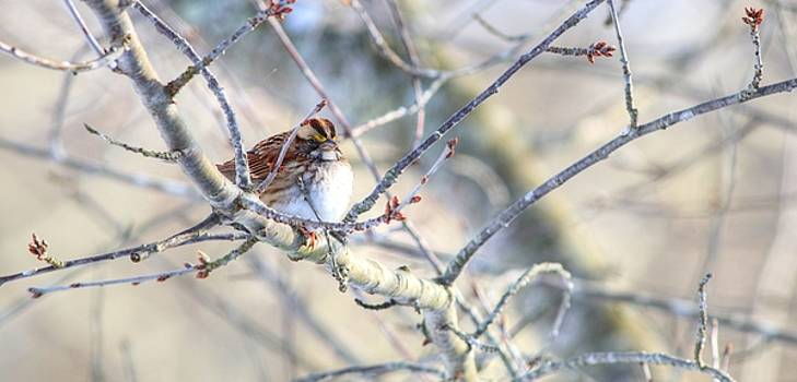 White-Throated Sparrow In Winter by Carol Montoya