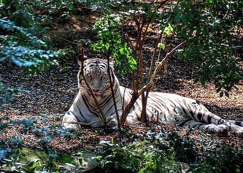 White Tiger beauty by Ronda Ryan