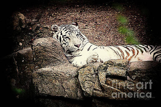 White Tiger by Inspirational Photo Creations Audrey Woods