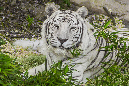 White Tiger Portrait by Kimberly Blom-Roemer