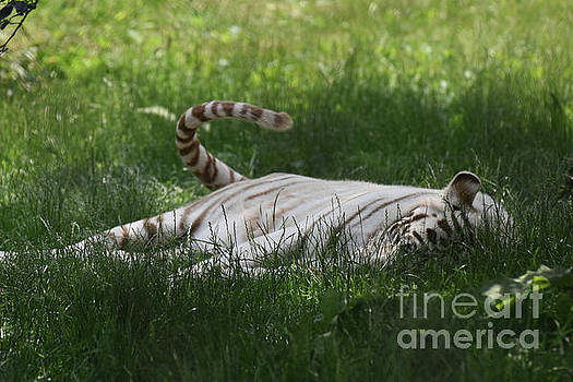 White Tiger Swinging His Tail as He Rests in Grass by DejaVu Designs