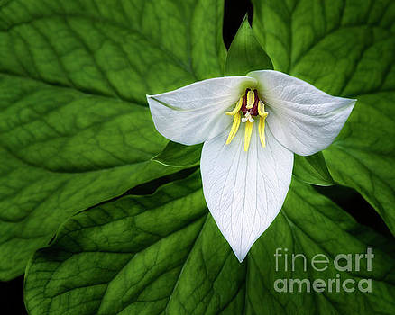 white trillium along Laurel Creek Road by Madonna Martin
