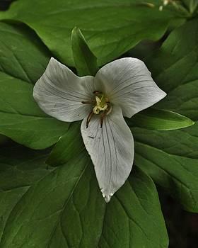 Charles Lucas - White Trillium