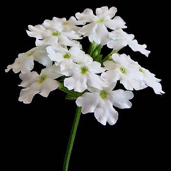 White Tukana Verbena Flower by Sandra Foster