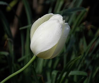 White Tulip by Angie Tirado