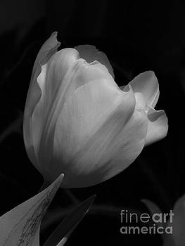 White Tulip by Anita Adams