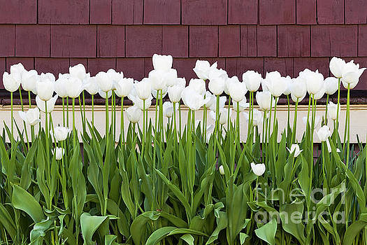 White Tulip Flower Bed by Alan L Graham