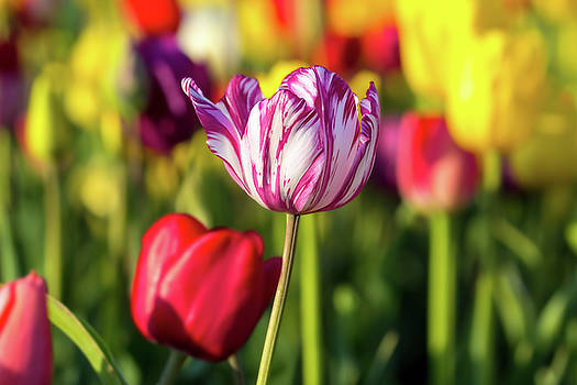 White Tulip Flower with Pink Stripes by David Gn