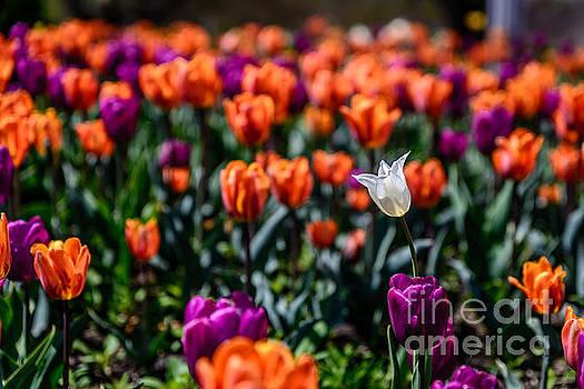 White Tulip by Patrick Shupert