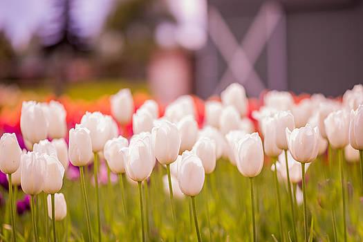 White Tulip Softness by Anton Tolok