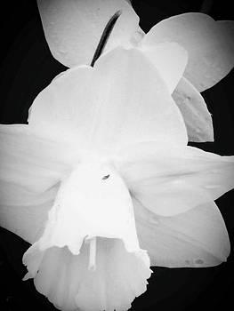 White tulip by ONDRIA-UNIqU3-Pics- Admin