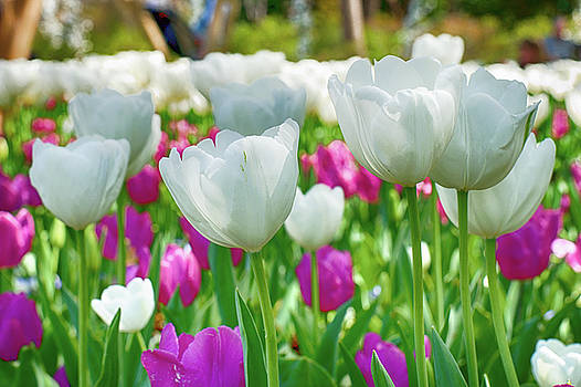 White Tulips 71116 by Rospotte Photography